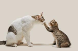 母猫に甘える子猫の写真素材 [FYI02310824]