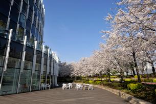 ウッドデッキと満開の桜の写真素材 [FYI02310868]