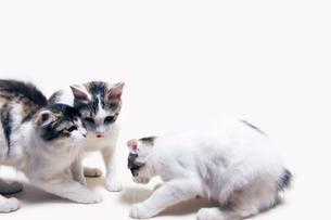 子猫の喧嘩に割って入る親猫の写真素材 [FYI02310875]