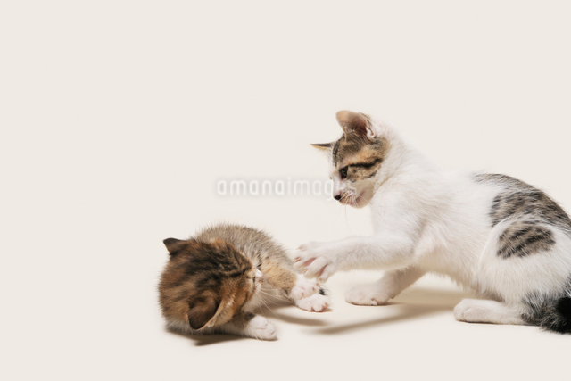 猫パンチを受ける子猫の写真素材 [FYI02310882]