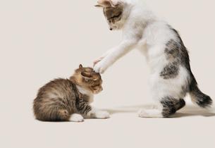 両手パンチを受ける子猫の写真素材 [FYI02310904]