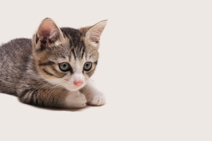 じっと見つめる子猫の写真素材 [FYI02310913]