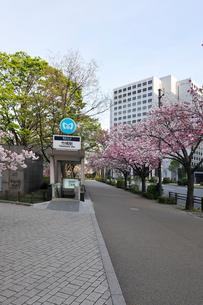 満開の八重桜と早朝の皇居周回道路の写真素材 [FYI02310917]