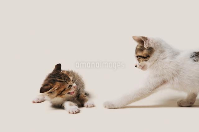 恐怖で絶叫する子猫の写真素材 [FYI02310918]