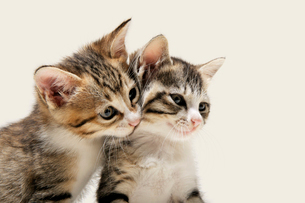 兄弟猫の写真素材 [FYI02310935]