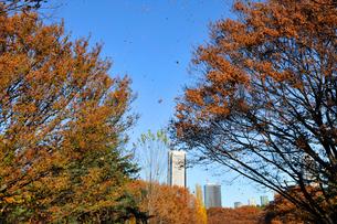ケヤキの紅葉と高層ビルの写真素材 [FYI02310974]