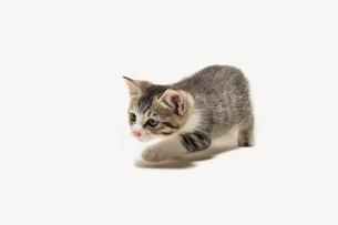 何かを狙っている子猫の写真素材 [FYI02311022]