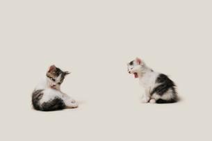 二匹の子猫のしぐさの写真素材 [FYI02311036]