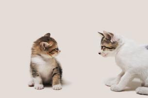 怖いもの知らずに睨み合う子猫の写真素材 [FYI02311045]