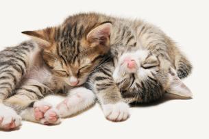 重なって昼寝をする子猫の写真素材 [FYI02311071]