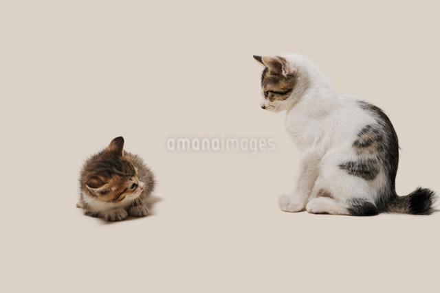 睨まれて縮こまる子猫の写真素材 [FYI02311074]