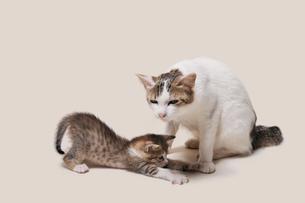 親猫と子猫の写真素材 [FYI02311083]
