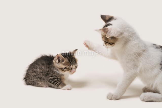 猫パンチの写真素材 [FYI02311125]