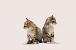 違う方向を見る二匹の子猫の写真素材 [FYI02311126]