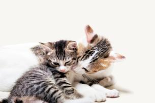 親猫と子猫の写真素材 [FYI02311156]