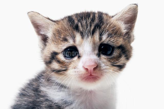 にらめっこする子猫の写真素材 [FYI02311158]