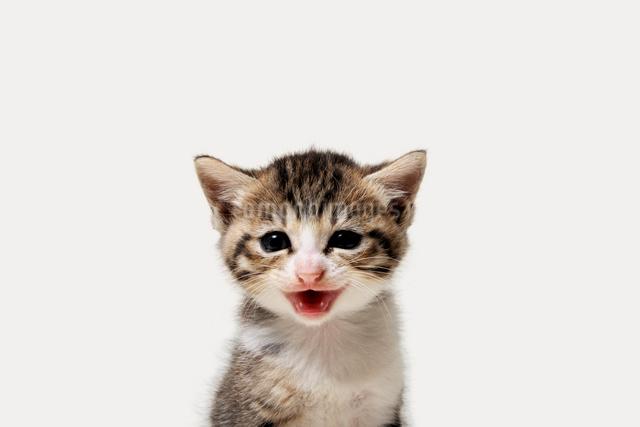 子猫の写真素材 [FYI02311273]
