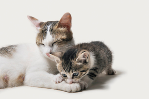 母猫に甘える子猫の写真素材 [FYI02311353]
