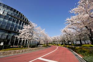 東京ミッドタウンの満開のさくら通りの写真素材 [FYI02311598]