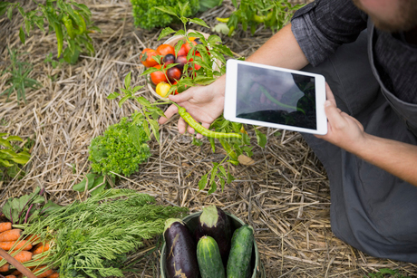 Farm-to-table chef with digital tablet harvesting vegetables in gardenの写真素材 [FYI02312265]