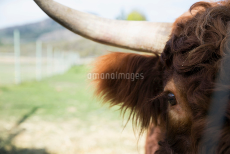 Close up portrait brown horned cattleの写真素材 [FYI02312342]