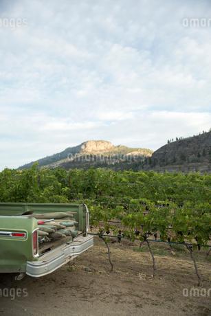 Truck bed parked alongside grape vines in vineyardの写真素材 [FYI02312421]