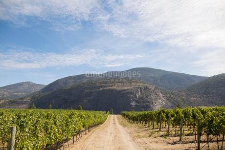 Mountains beyond sunny rural idyllic vineyardの写真素材 [FYI02312562]