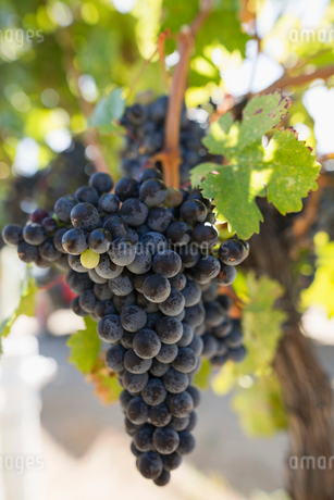 Close up bunch of red wine grapes hanging on vineの写真素材 [FYI02312720]