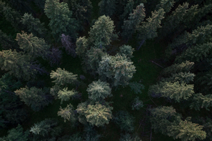 Overhead view tall green forest treetopsの写真素材 [FYI02315531]