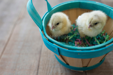 Yellow baby chicks in Easter basketの写真素材 [FYI02318665]