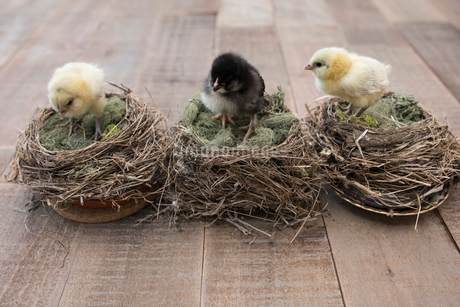Baby chicks on nestsの写真素材 [FYI02319993]