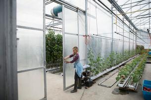 Female farmer opening greenhouse doorの写真素材 [FYI02322316]