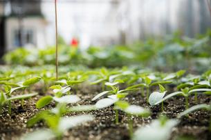 Green seedling plants growingの写真素材 [FYI02322330]