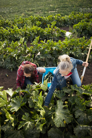 Mother and daughter farmers harvesting zucchinis on farmの写真素材 [FYI02322450]