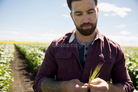 Male farmer examining corn stalk on sunny farmの写真素材 [FYI02322491]