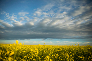 Clouds in blue sky over idyllic sunny yellow rapeseed crop fieldの写真素材 [FYI02322561]