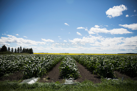 Green vegetable crops growing on sunny farmの写真素材 [FYI02324221]