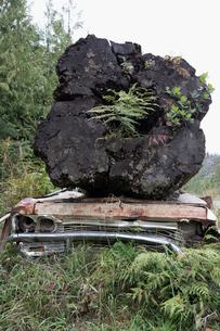 Plants growing in large fallen tree on rusted carの写真素材 [FYI02326511]