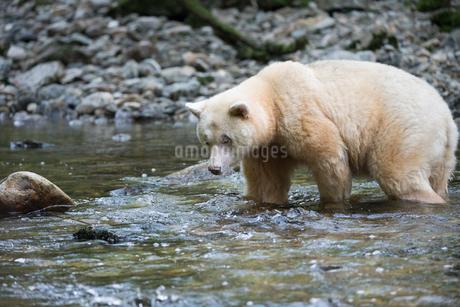 Focused polar bear fishing in streamの写真素材 [FYI02326637]