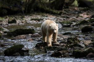 Polar bear fishing on rocks along streamの写真素材 [FYI02326967]