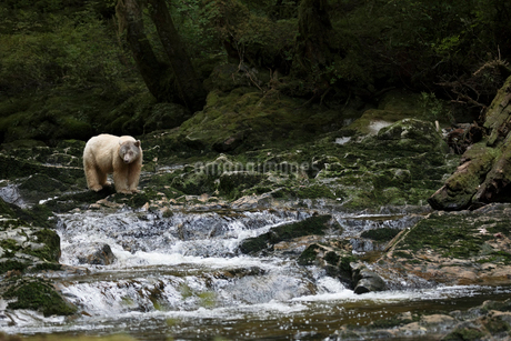 Polar bear fishing on rocks above stream waterfallの写真素材 [FYI02327031]