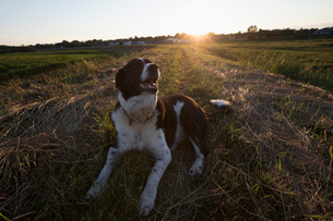Happy brown and white dog resting in rural field at sunsetの写真素材 [FYI02327812]