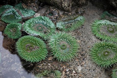 Green sea anemones in tidal poolの写真素材 [FYI02328131]
