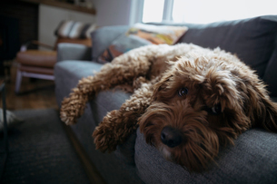 Portrait cute, tired dog laying on sofaの写真素材 [FYI02328937]