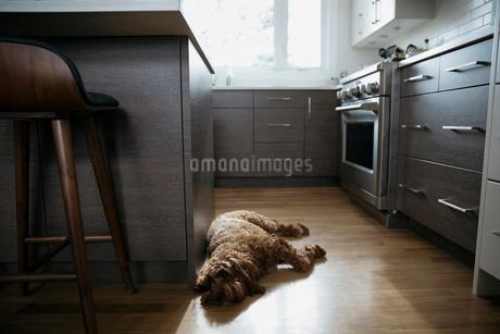 Tired dog sleeping on kitchen hardwood floorの写真素材 [FYI02329578]
