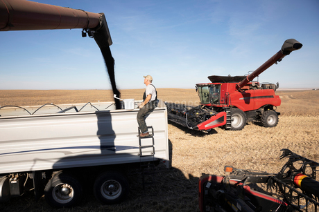 Farmer watching combine harvester filling trailer on sunny farmの写真素材 [FYI02334497]
