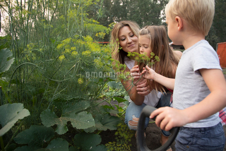 Mother and children picking fresh dill in vegetable gardenの写真素材 [FYI02335800]
