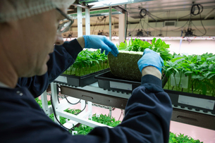 Grower inspecting cannabis seedlings in incubationの写真素材 [FYI02337750]