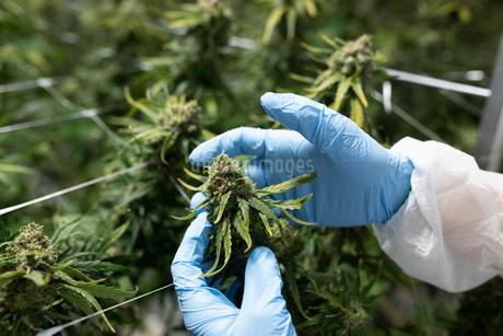 Grower inspecting cannabis plantの写真素材 [FYI02337806]