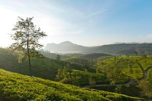 Tea plantation, rolling countryside, Kandapola, Nuwaraの写真素材 [FYI02337895]